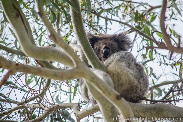 Koala waking up from its nap